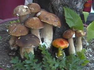 Funghi epigei - Matera