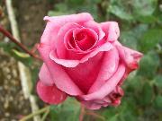Rosa - Matera