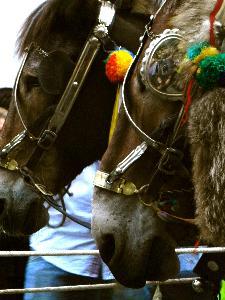 Coppia di muli che trainano il Carro Trionfale - Via Marconi - 2 Luglio