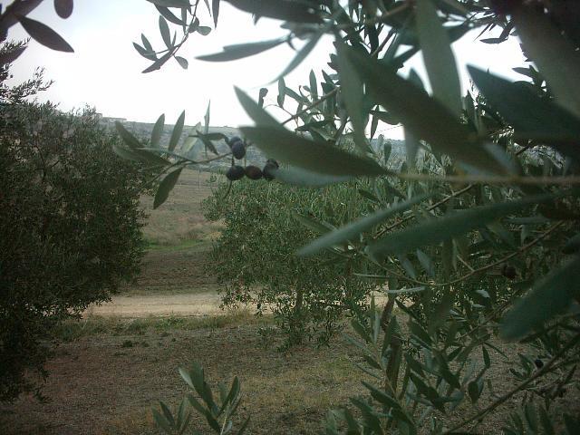Olive, raccolto di qualità