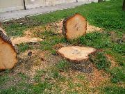 Alberi secolari abbattuti