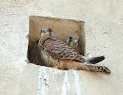 Il falco grillaio - Matera