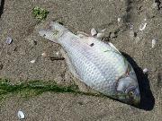 Pesci morti a San Basilio