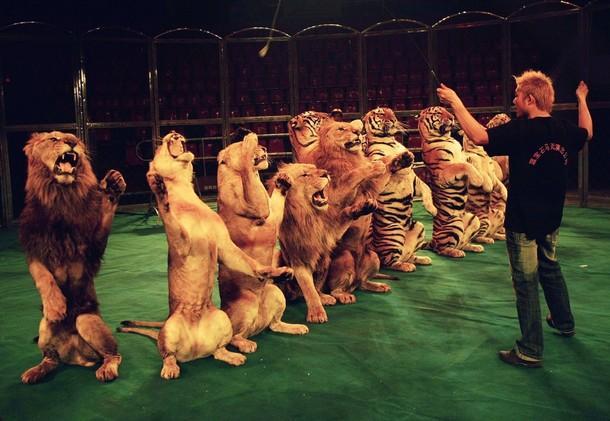 Circo, tigri