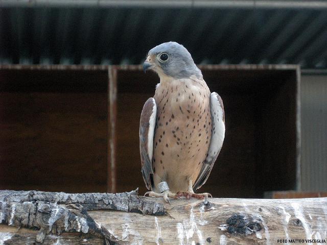 Falco grillaio in voliera