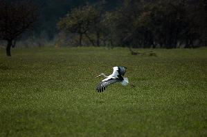 Cicogna bianca in libert� nella Riserva Naturale di San Giuliano  - Matera