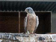 Falco grillaio in voliera - Matera