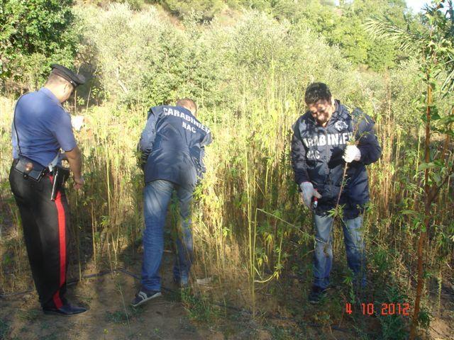 Coltivazione di Marjiuana sequestrata dai Carabinieri - 4 ottobre 2012