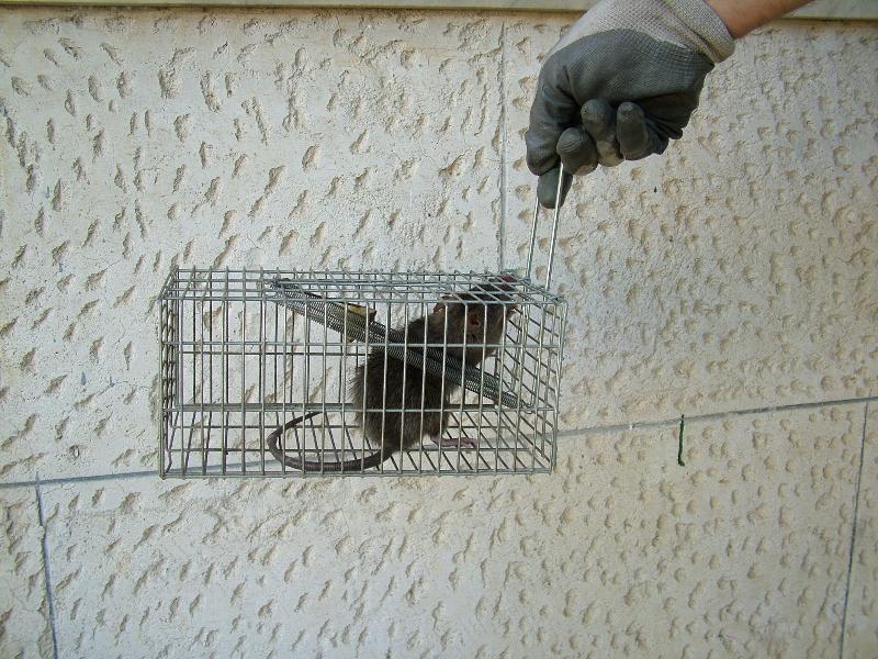 Il topo catturato dal commerciante (foto Martemix)