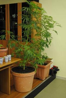 Piantagione di Marijuana rinvenuta dalla polizia di stato di Matera - Conferenza stampa del 21 giugno 2012