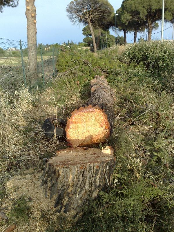 Abbattimento di alberi secolari