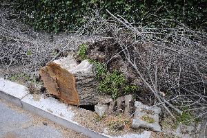 Albero caduto in viale Europa - 6 marzo 2013 (foto SassiLand)