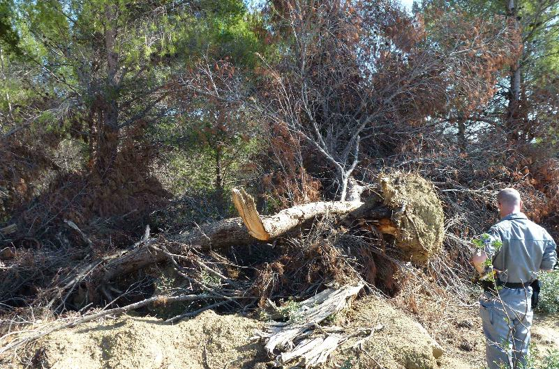 Corpo Forestale dello Stato che effettua calcoli dendrometrici su albero abbattuto