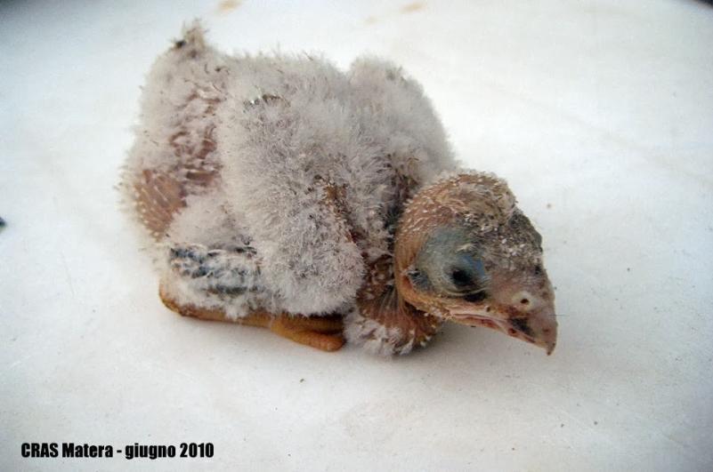 Falco grillaio soccorso dal CRAS