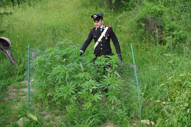 Piantagione di Marijuana rinvenuta a Salandra dai Carabinieri