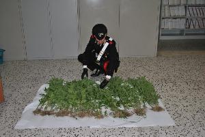 Marijuana pronta per l´essiccatura rinvenuta a Salandra dai Carabinieri