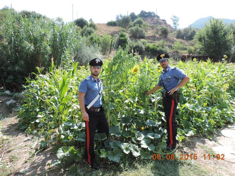 Carabinieri scoprono piantagione di cannabis