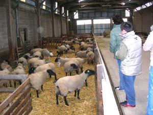 Allevamento di ovini - Matera