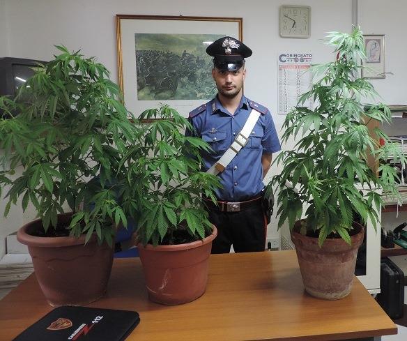Le 3 piante rinvenute dai Carabinieri di Marconia