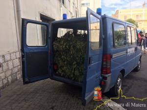 Metaponto: Scoperta una maxi piantagione di marijuana