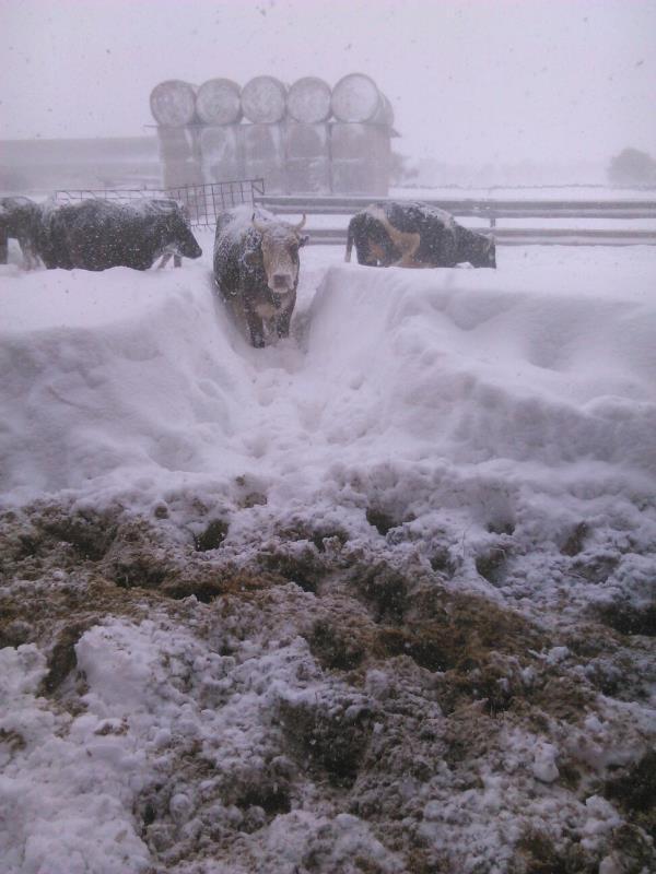 Emergenza neve, bestiame in difficoltà