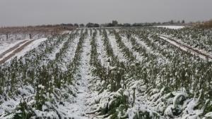 Coltivazioni distrutte dal gelo in Basilicata